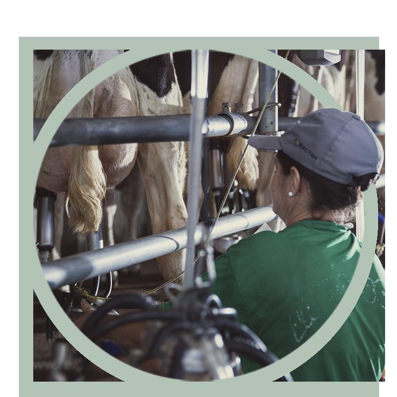 Investindo em integração as vacas produzem um leite de melhor qualidade