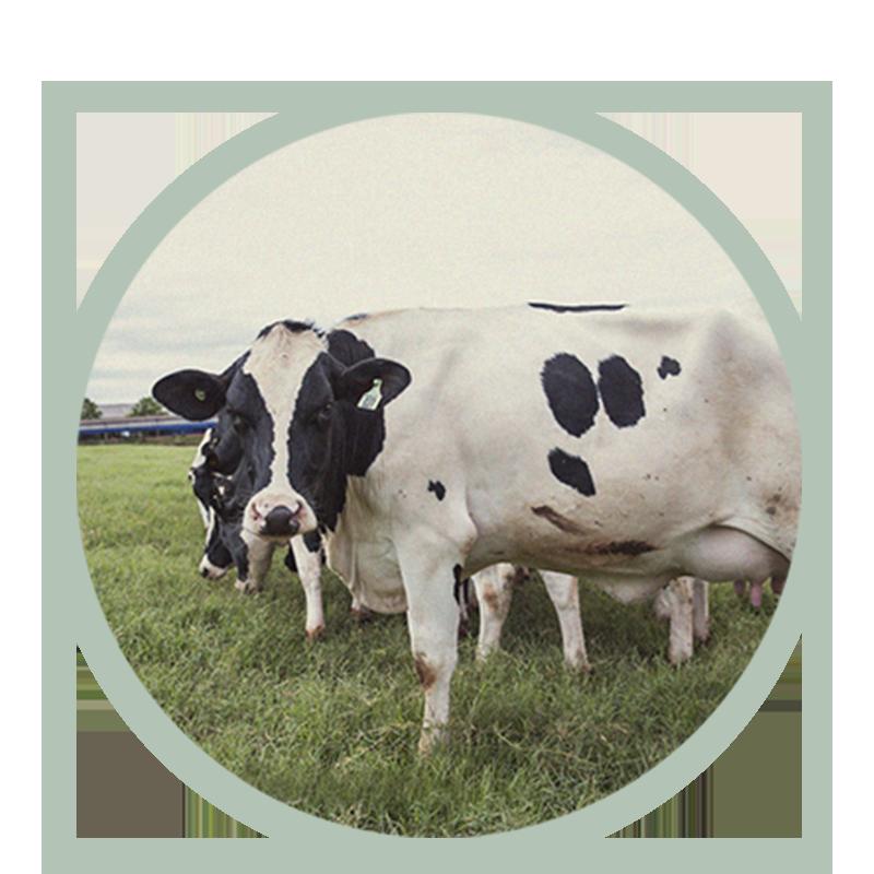 Animais de porte que produzem leite de qualidade